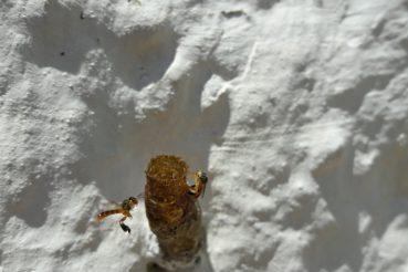 abelha melipona jatai
